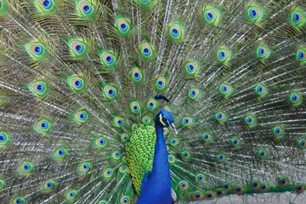 Peafowl In The Park