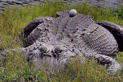 Get up close the Alligator Farm